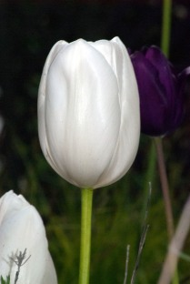Vince Ferguson - White Tulip 02 - Digital Image
