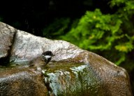 Vince Ferguson - Chickadee Bath - Digital Image