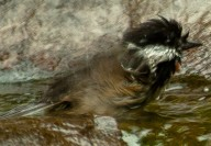 Vince Ferguson - Chickadee - Digital Image