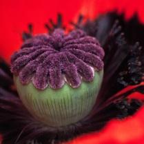 Vince Ferguson - Poppy Cake - Digital Image