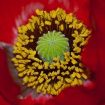 Vincent Ferguson - Poppy Yellow - Digital Image