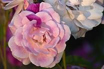 Vince Ferguson - Rose Hybrid - Digital Image