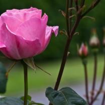 Vince Ferguson - Rose Pink - Digital Image