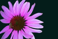 Vince Ferguson - Echinacia-3 - Digital Image