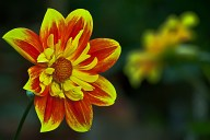 Vince Ferguson - Red and Yellow Dahlia - Digital image