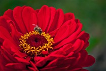 Vince Ferguson - Red Dahlia with Bee-1 - Digital image