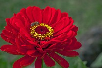 Vince Ferguson - Red Dahlia with Bee-2 - Digital image