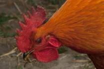 Vince Ferguson - Gold Rooster - Digital Image