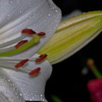 Vince Ferguson - Lilies - Digital Image