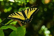 Vince Ferguson - Swallowtail 01 - Digital Image
