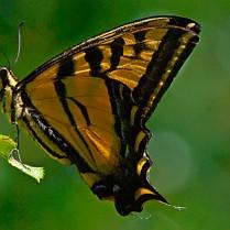 Vince Ferguson - Swallowtail 02 - Digital Image