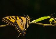Vince Ferguson - Swallowtail 03 - Digital Image