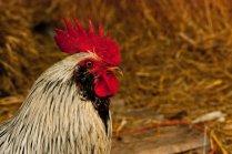 Vince Ferguson - White Rooster Profile - Digital Image