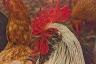 Vince Ferguson - White Rooster - Digital Image