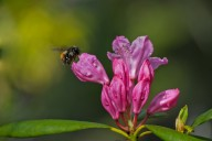 Vince Ferguson - Rhododendron and Bee - Digital Image