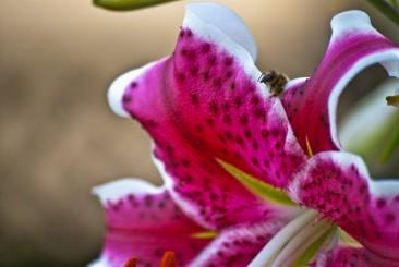 Vince Ferguson - Stargazer Bee 02 - Digital Image