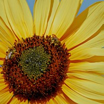 Vince Ferguson - Sunflower with Bees-2 - Digital Image