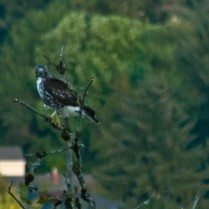 Vince Ferguson - Falcon Tree - Digital Image