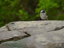 Chickadee on Rock