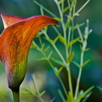 Vince Ferguson - Orange Calla Lily - Digital Image