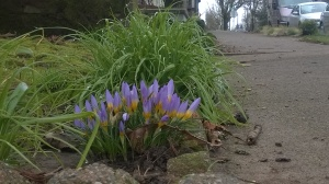Vince Ferguson - First Crocus - Digital Image