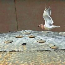 Vince Ferguson - Fountain Gull - Digital Image