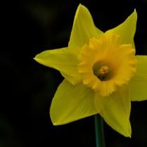 C. Vincent Ferguson - Daffodil - Digital Image