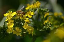 C. Vincent Ferguson - Mustard Bee - Digital Image