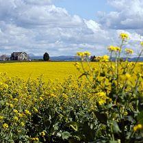C. Vincent Ferguson - Mustard Grass and Farmhouse - Digital Image