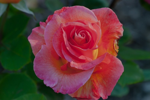C. Vincent Ferguson - Mardi Gras Rose - Digital Image