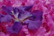 C. Vincent Ferguson - Purple Iris and Pink Azaleas - Digital Image