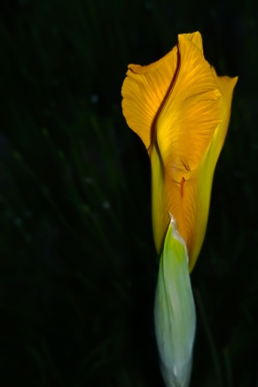 C. Vincent Ferguson - Yellow Iris Bud Dark - Digital Image