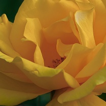 C. Vincent Ferguson - Yellow Rose Abstract - Digital Image