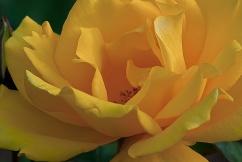 C. Vincent Ferguson - Yellow Rose Abstract - Digital Image