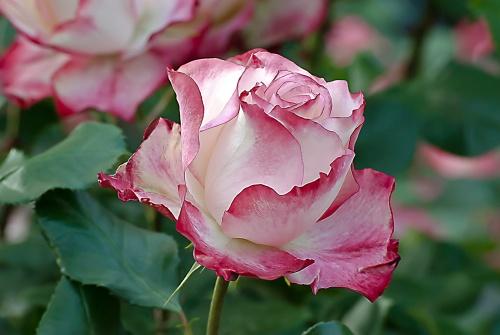 C. Vincent Ferguson - Cherry Parfait Unity Rose - Digital Image