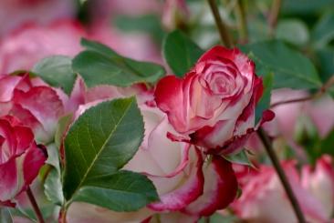 C. Vincent Ferguson - Cherry Parfait Rose Bud - Digital Image