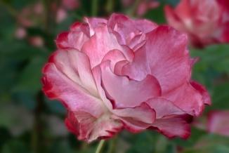 C. Vincent Ferguson - Cherry Parfait Rose - Digital Image