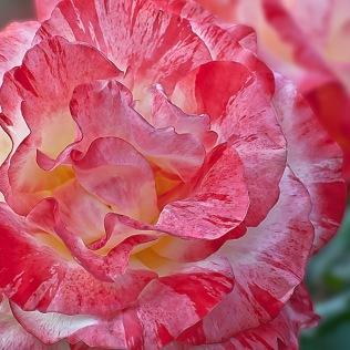 Chihuli Rose, Rose, Rosa, Rosaceae