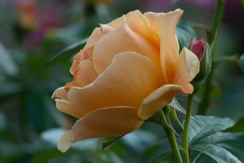 C. Vincent Ferguson - Easy Going Rose - Digital Image
