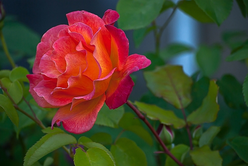C. Vincent Ferguson - Mardi Gras - Digital Image Rose
