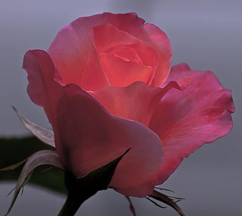 C. Vincent Fergguson - Mardi Gras Rose - Digital Image