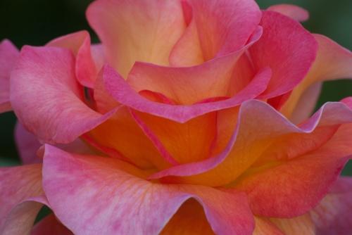 C. Vincent Ferguson - Mardi Gras Rose Macro - Digital Image