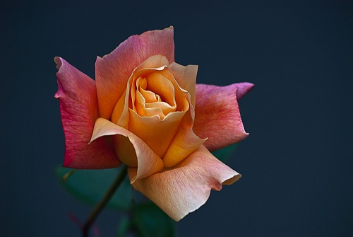 C. Vincent Ferguson - Peach Rose Bud - Digital Image