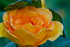 C. Vincent Ferguson - Sundance Yellow Rose - Digital Image