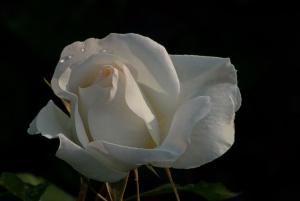 C. Vincent Ferguson - White Simplicity Rose - Digital Image