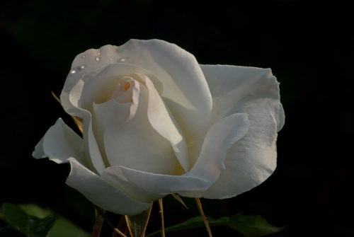 C. Vincent Ferguson - White Simplicity Rose - Digital Image