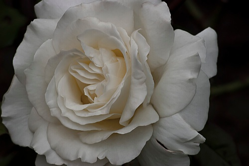 C. Vincent Ferguson - White Simplicity Rose Macro - Digital Image