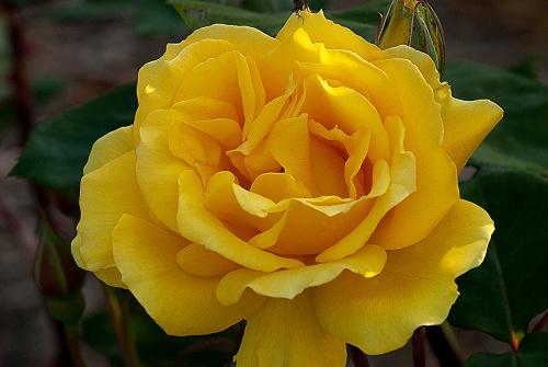 C. Vincent Ferguson - Yellow Rose - Digital Image