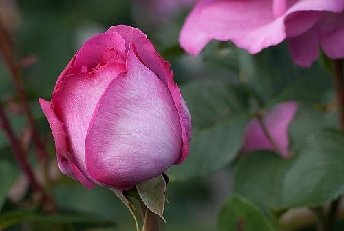 C. Vincent Ferguson - Yves Piaget Pink Rose Bud - Digital Image