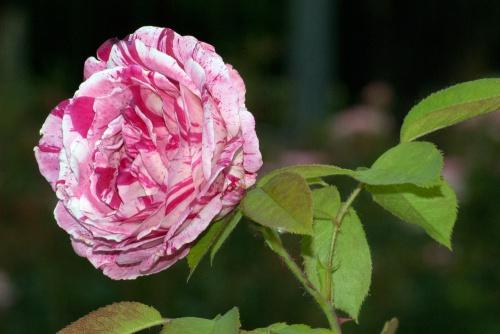 C. Vincent Ferguson - Scentimental Rose - Digital Image